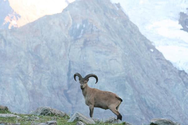 Местный житель западнокавказский тур